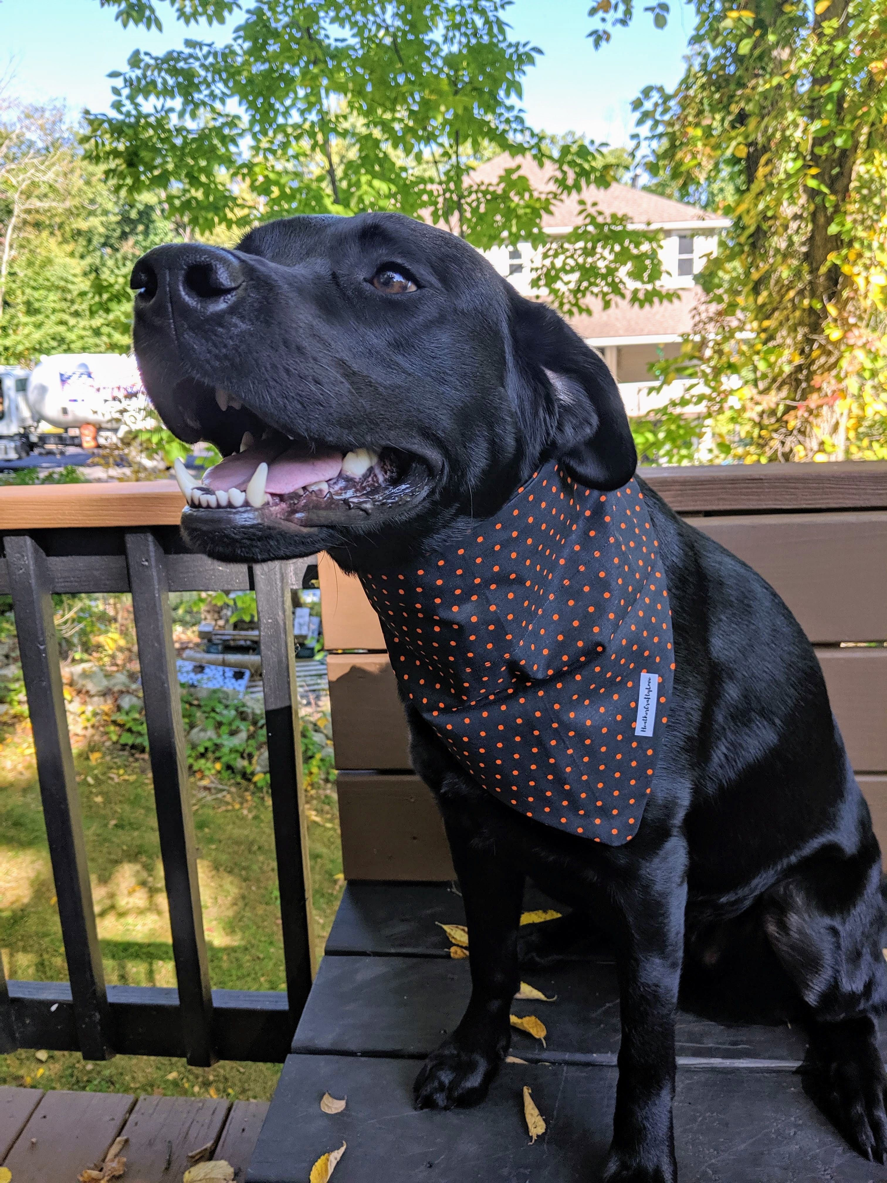 Polka Dot Bandana In 2020 Black Labrador Retriever Labrador Retriever Black Labrador