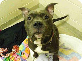 Fort Wayne, IN - Pit Bull Terrier. Meet GRADY, a dog for adoption. http://www.adoptapet.com/pet/16871793-fort-wayne-indiana-pit-bull-terrier