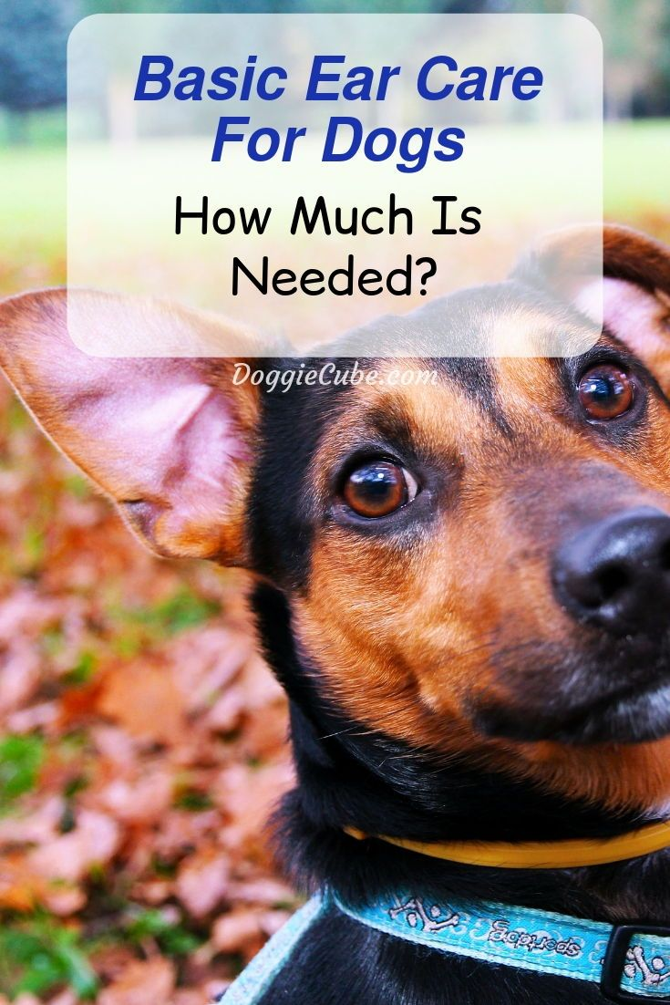 Basic ear care for dogs how much is needed for your dog
