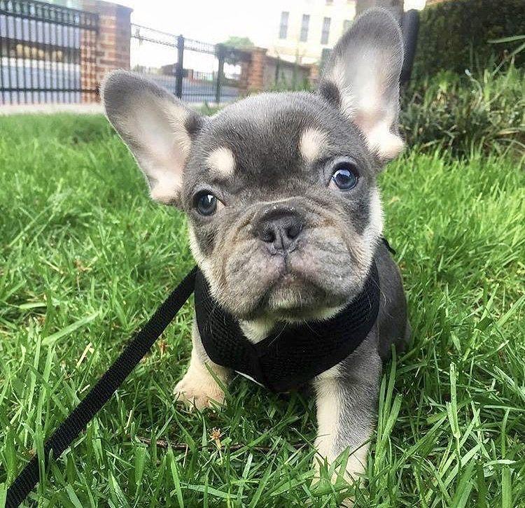 Pin by Anna Ripken on Puppy love French bulldog breed