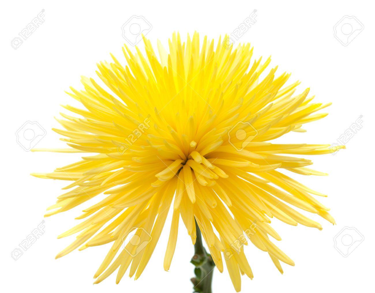 Crisantemo amarillo. Fondo blanco.