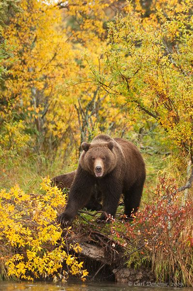 Grizzly Bears in Fall | Bears | Bear, Bear tattoos, Big bear
