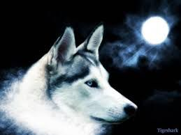 Wolf Wallpaper Wolf With Blue Eyes Wolf Background