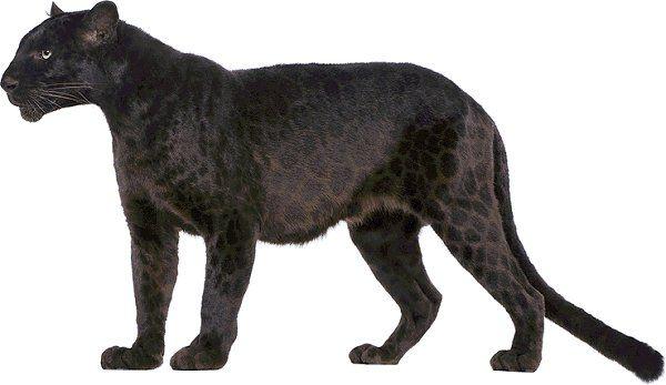 Jaguar Animal Fonditos Jaguar Animales Jaguares Mascotas