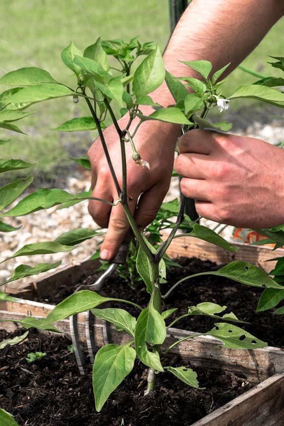 Fertilizing Peppers A Sample Feeding Schedule Stuffed 640 x 480