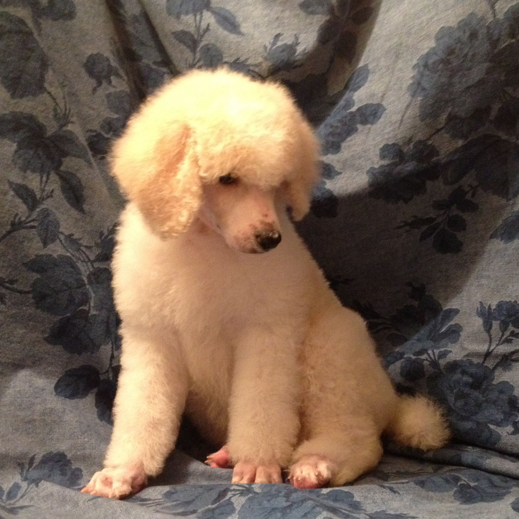 Cream Color Standard Poodle Puppy I So Want One Like This