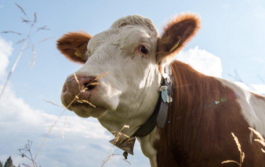 Badspiegel München prozess in münchen mann verklagt landwirtin wegen kuhglocken lärm