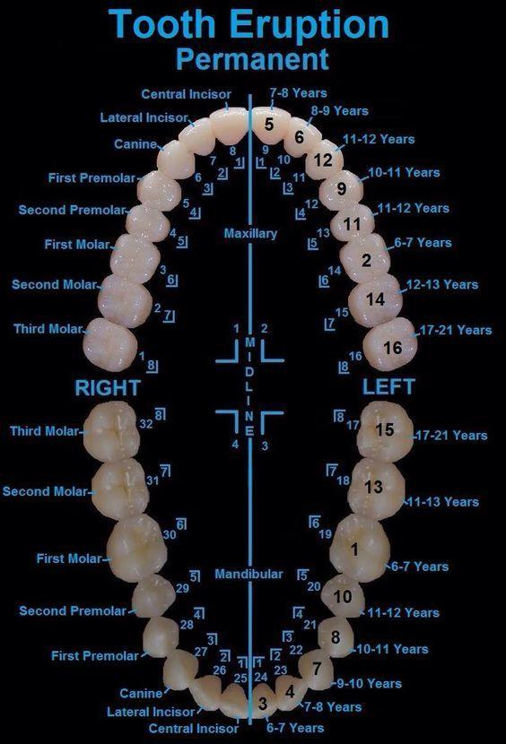 Teeth Have Numbers! #dentalassistant