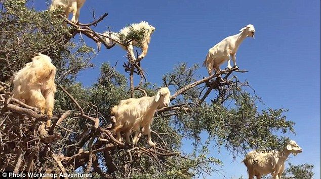Incredible video shows goats perched on 16ft-high branches | sp