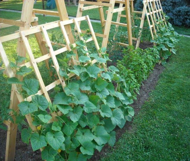Trellis Planting Ideas Part - 30: Building Trellises For Cucumbers Enhances Growth!