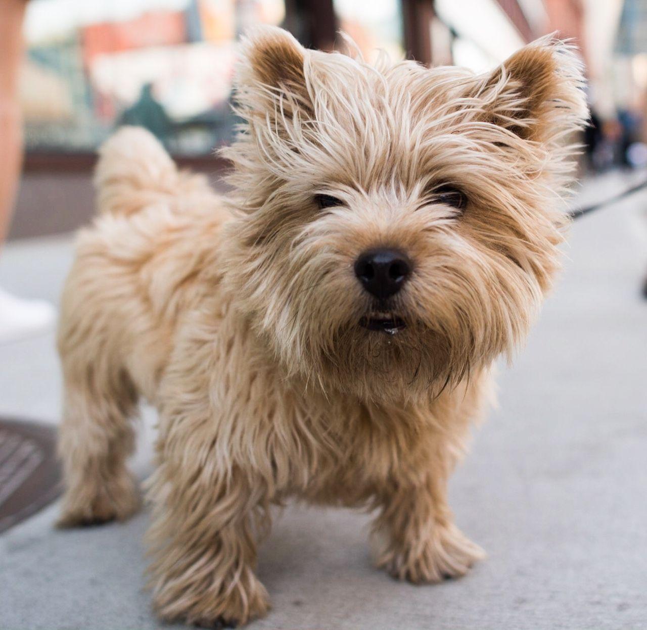 Beautiful And Cute York Terrier Dog: Boris, Norwich Terrier (4 Y/o), Lafayette & Bleecker, New