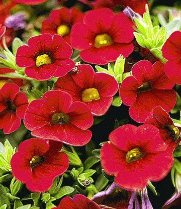 Hange Petunien Celebration Samtro Balkonpflanzen Bei