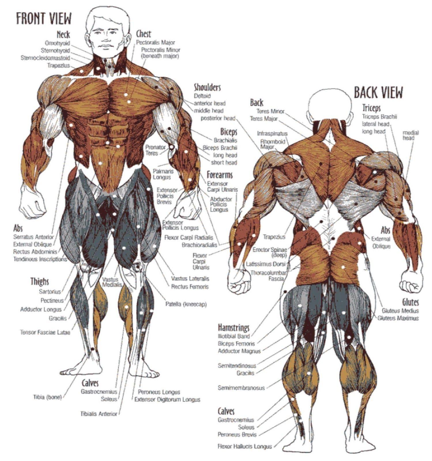 означает, что мышцы человека фото с описанием мышц бодибилдинг половина объектива строит