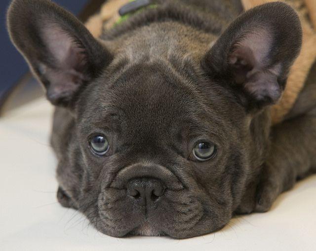 Stolen French Bulldog Pups French Bulldog Puppies Bulldog