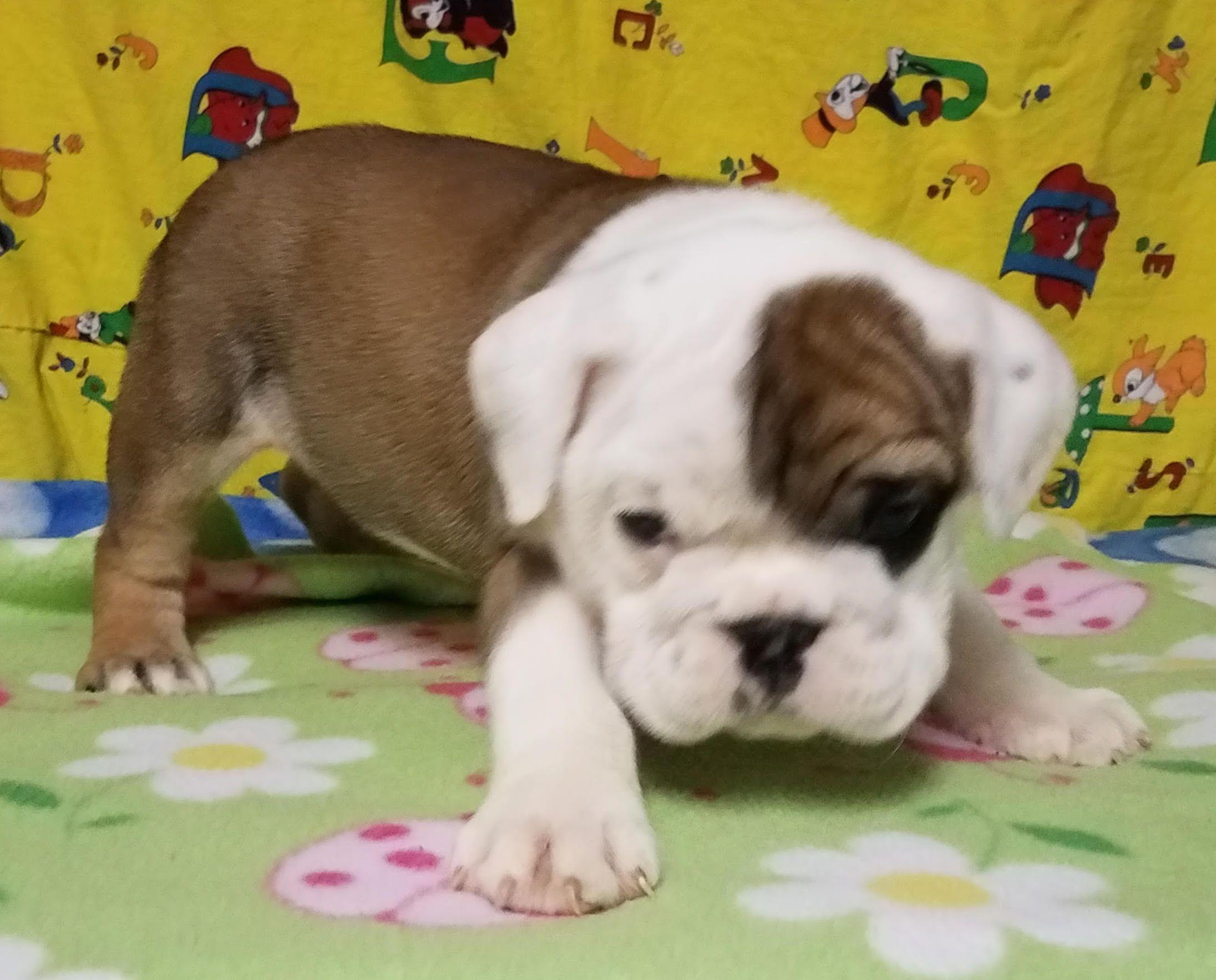 Koko Is A Fawn Female English Bulldog Puppy American Born And