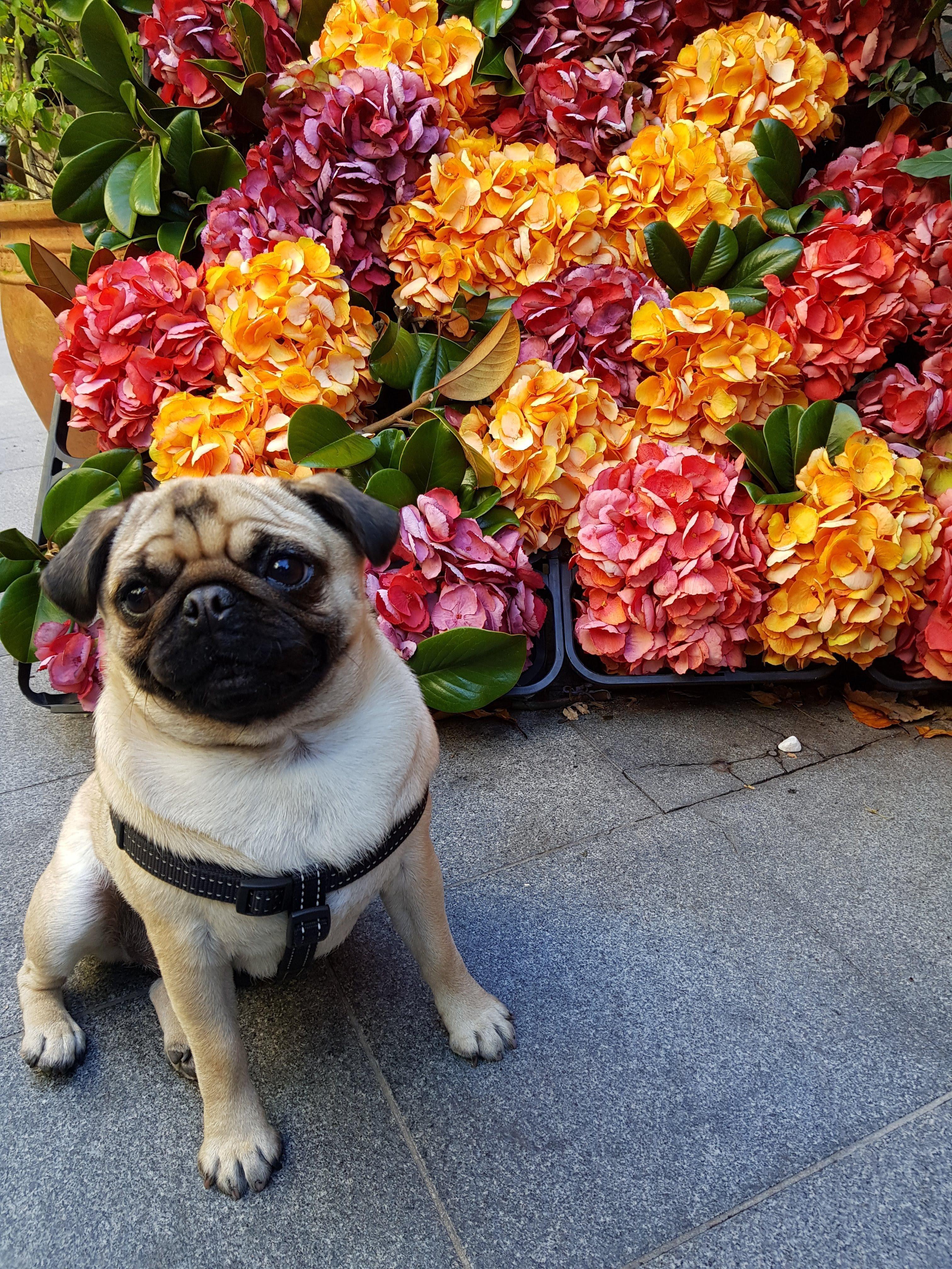 Pugcarlino Pugs Pugs Funny Funny Dog Photos
