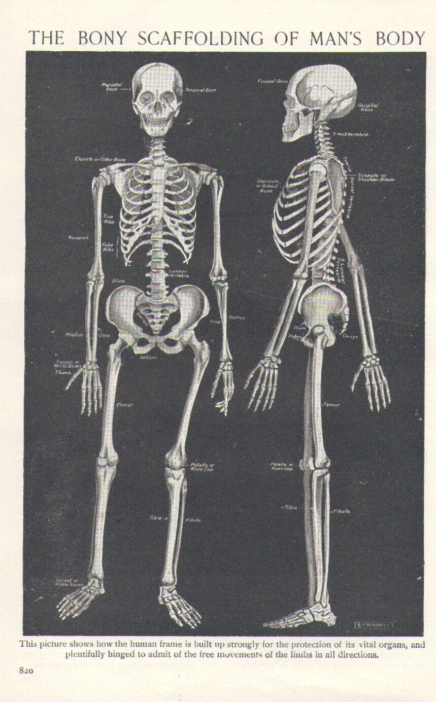 For The Hubbie1920 Skeleton Human Anatomy Illustration Vintage