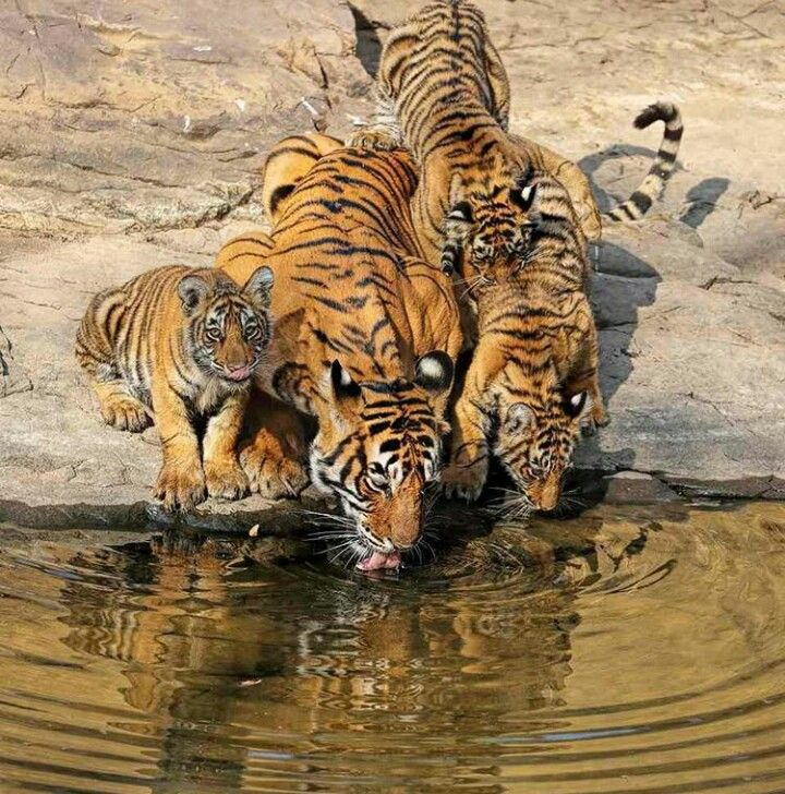 Bengal Tigers family Tiger photography, Animals, Baby