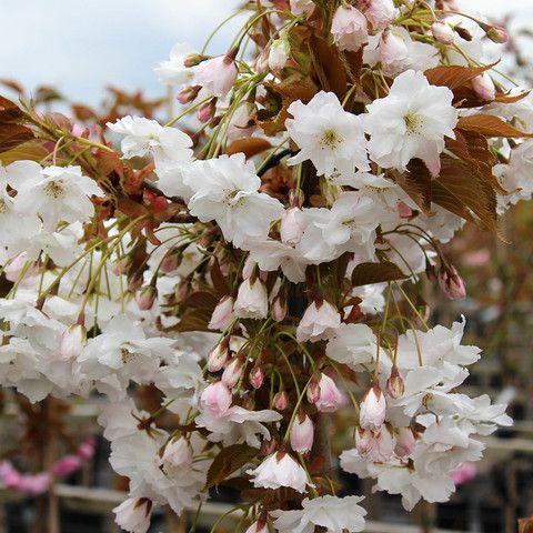 Flowering Cherry Trees Prunus Mail Order Trees Flowering Cherry Tree Cherry Tree Flower Farm