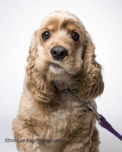 I Don T Think So Indy By Tanya King Photography Via Flickr Spaniel Breeds American Cocker Spaniel Cocker Spaniel Dog