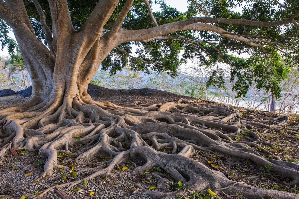 8kids Discover Trees Slideshow And Info Tree Roots Tree Of Life Images Roots