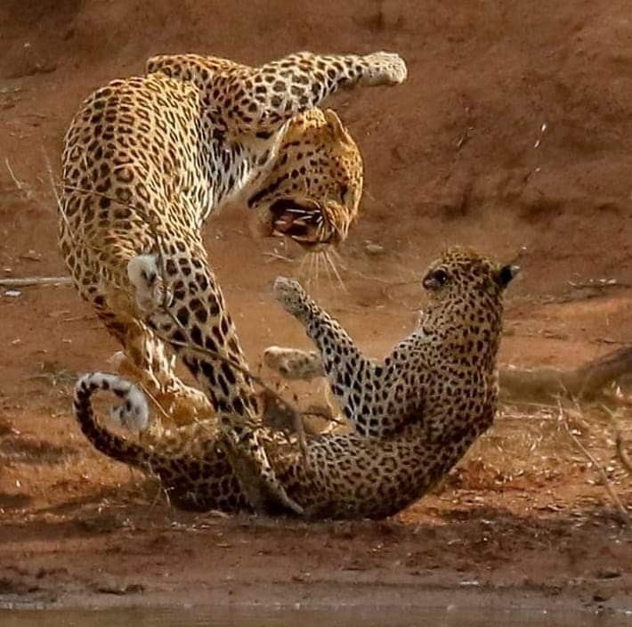 Jaguar Fight: Two Leopards Fighting Over A Patch Of Prime Real Estate