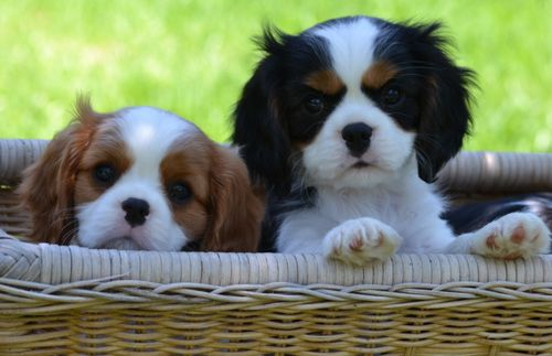 Canyoncrest Cavalier King Charles Spaniel Puppies Dallas Fort Worth Texas Grace King Charles Cavalier Spaniel Puppy Cavalier King Charles Dog Spaniel Puppies