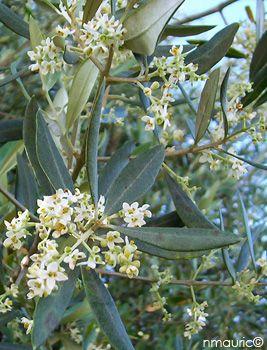 Épinglé par MARION sur Der Olivenbaum | Olivier, Arbre, Jardins