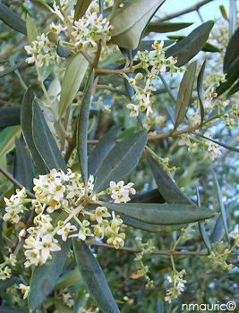 olea europaea floraison | Olive trees in Palestine | Pinterest
