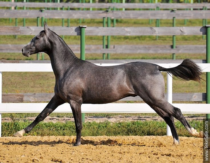 Akhal Teke of unusual color. I would say it is solid silver grey on bay. This is the most mysterious color I've ever seen on Akhal Tekes