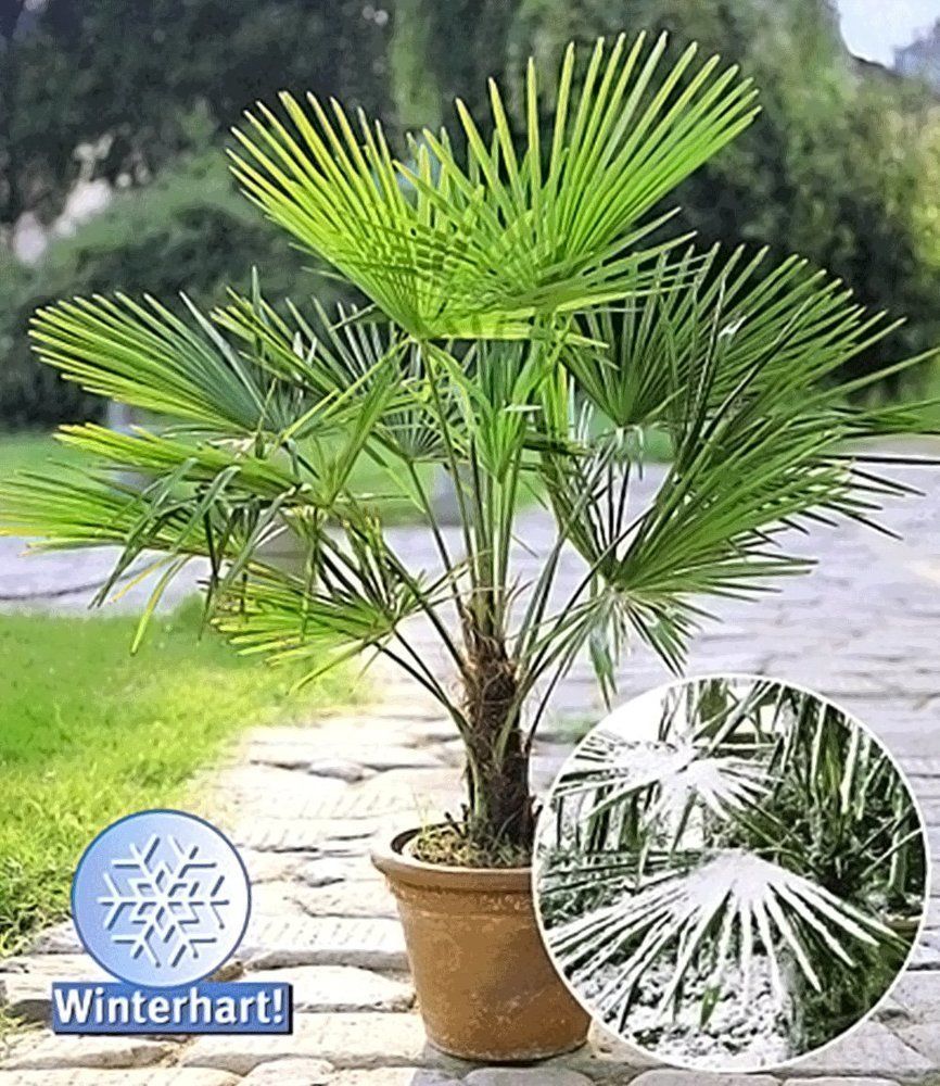 Winterharte Kubel Palmen Chinesische Hanfpalme Real Winterharte Pflanzen Garten Pflanzen Winterhart