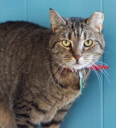 Cat Adoption Search Results Cat Adoption Animal League Kitten Adoption