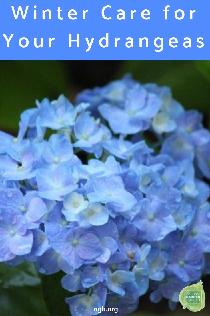 Come Curare Le Ortensie hydrangeas winter care - pruning - deadhead - cold