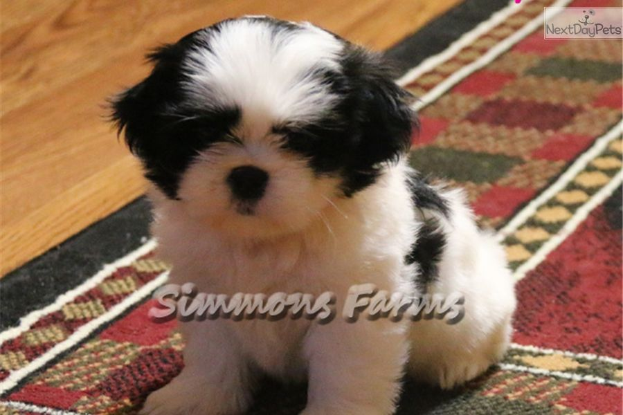 Shih Tzu Puppy For Sale Near Springfield Missouri 8beb59c2 A0f1