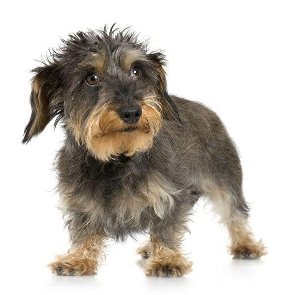 Wire Haired Dachshund Scruffy Dogs Dachshund Breed