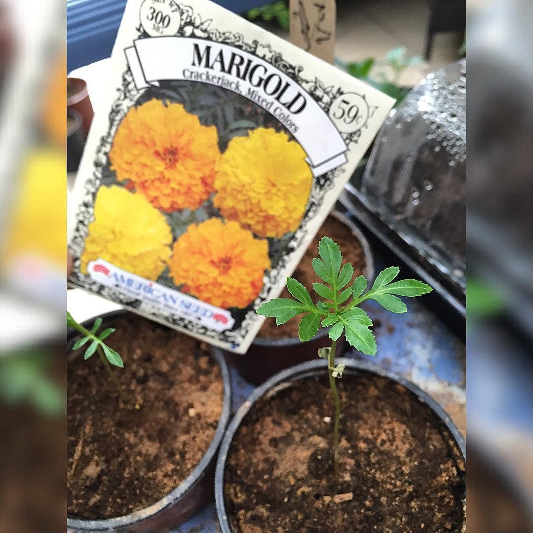 حديقتي My Garden On Instagram حديقة المنزل هواية زراعة شتلات ورود بذور تربة زراعية نمو شتلات الورد بشكل جيد البذور امريك Garden Instagram Posts Sugar Scrub