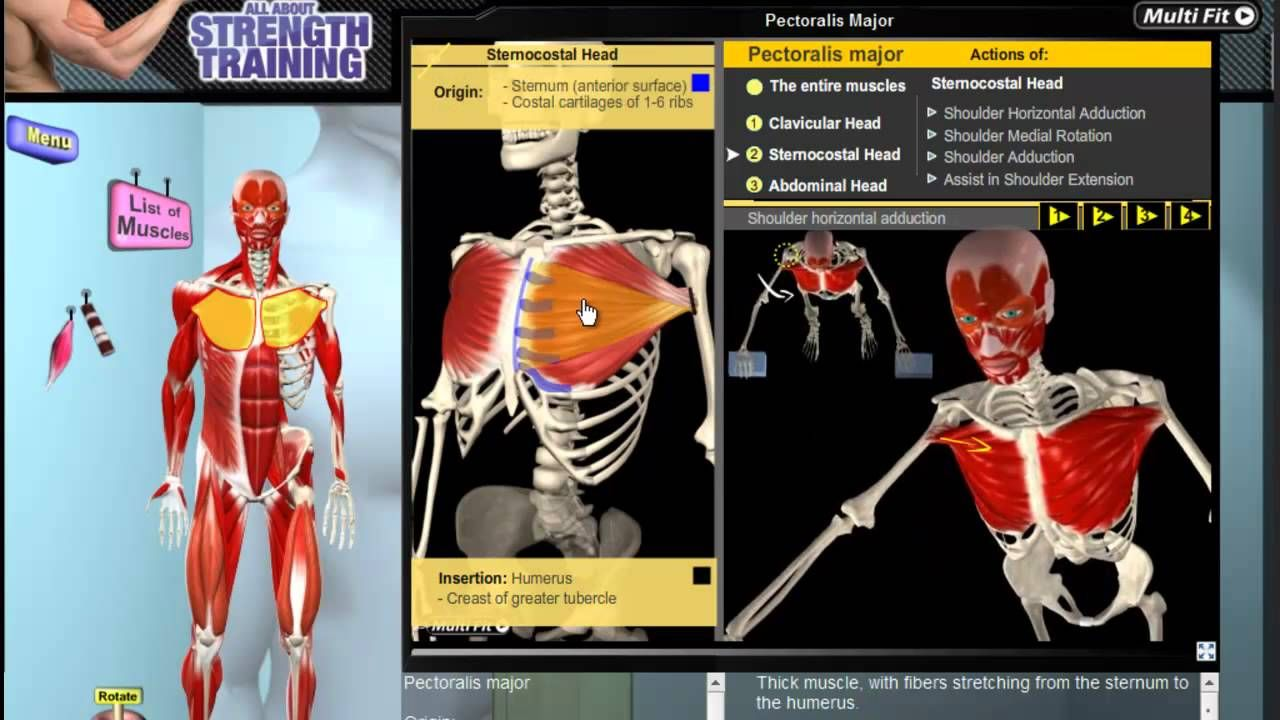 Pectoralis Major Anatomy and Kinesiology. Learn how this muscle of ...