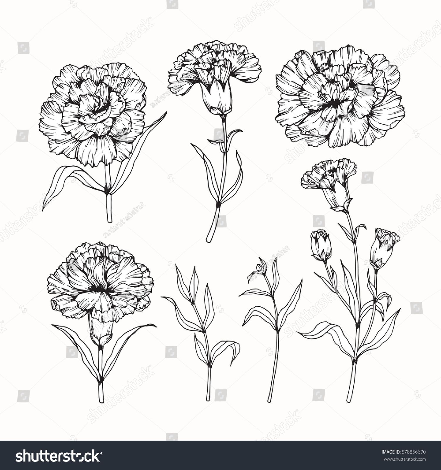 Vector Collection Set Of Carnation Flower By Hand Drawing On White Backgrounds Carnation Flower Tattoo Carnation Tattoo Flower Drawing