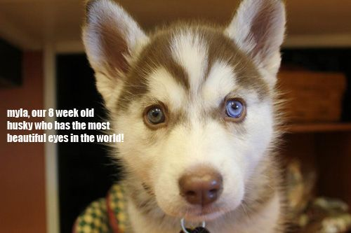Omgosh, I want a husky sooooooo bad! Gorgie =)