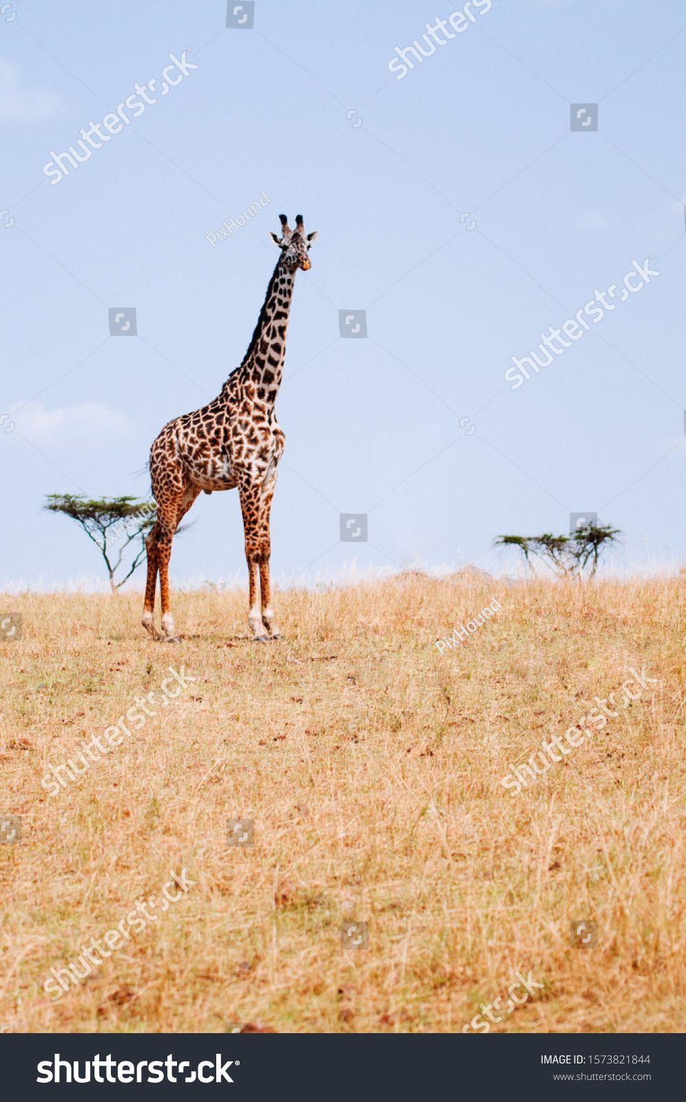 Giraffe walking in golden grass field of Serengeti Grumeti reserve Savanna forest - African Tanzania Safari wildlife trip during great migration #Ad , #spon, #Serengeti#field#reserve#Grumeti
