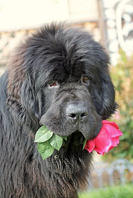 Trapper With A Flower For Mom What A Lovebug Dogs Dog Breeds Newfoundland Dog