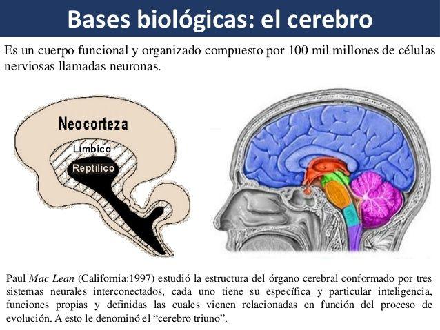 Bases Biológicas Del Aprendizaje Aprendizaje Celula Nerviosa Biologico