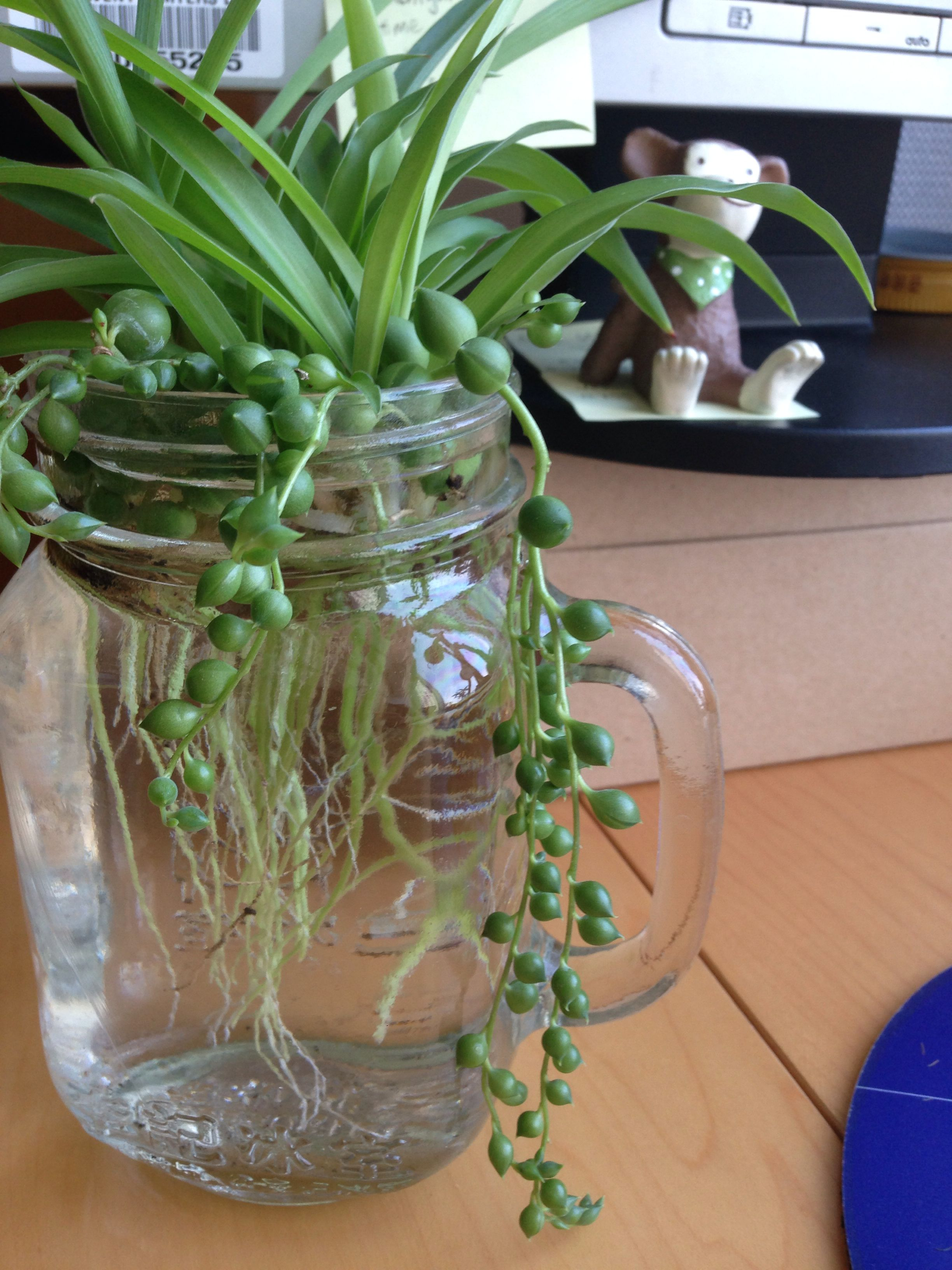 Grow Everything In Water Spider Plants And String Of