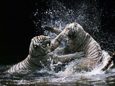 White Lion And White Tiger Fighting