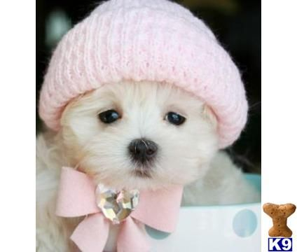 Pretty In Pink Maltese Puppy Maltese Puppy Teacup Puppies