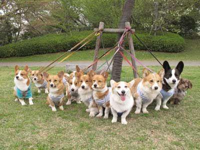 10 Sets Of Big Ears And Short Legs Corgi Corgi Dog Corgi Funny