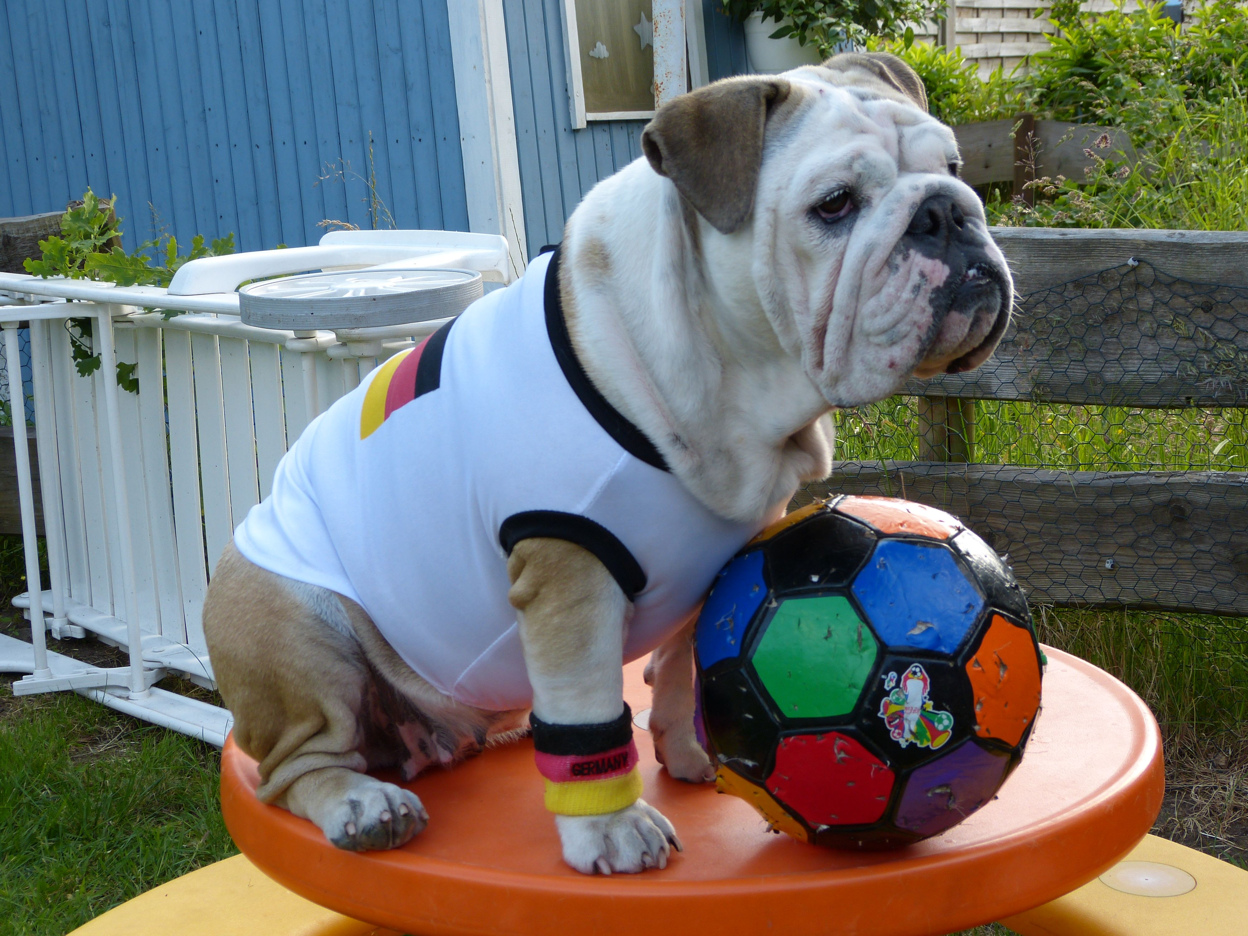 English bulldog emily in her cute soccer outfit this is