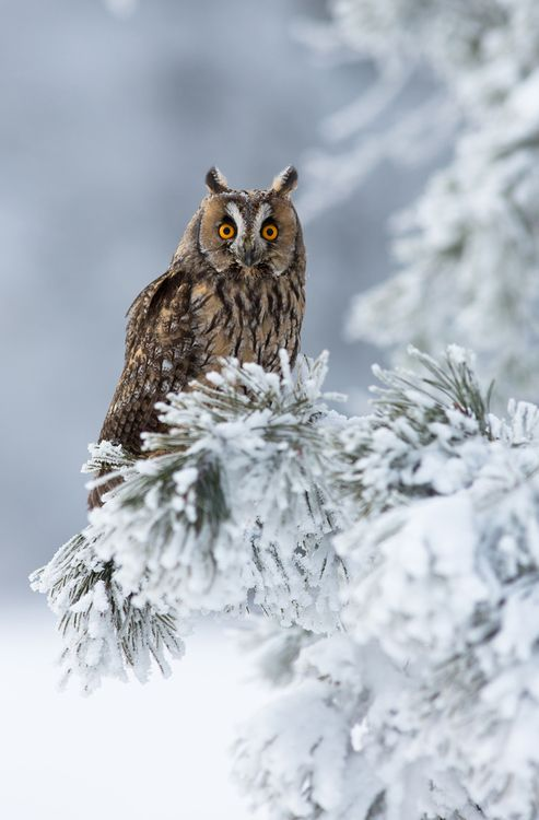 Long Eared Owl  Photo by Milan Zygmunt  http://honeygirl1946.tumblr.com