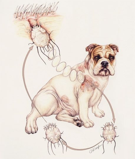 Sarcoptes Mange Mite Life Cycle In The Dog Art By Laurie O Keefe