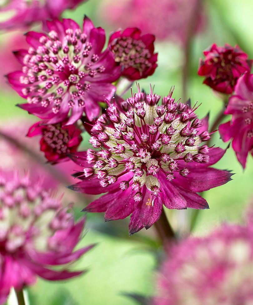 Astrantia Major Ruby Star A New Introduction Clear Ruby Red - Astrantia major censation milano plants from bakker spalding garden company